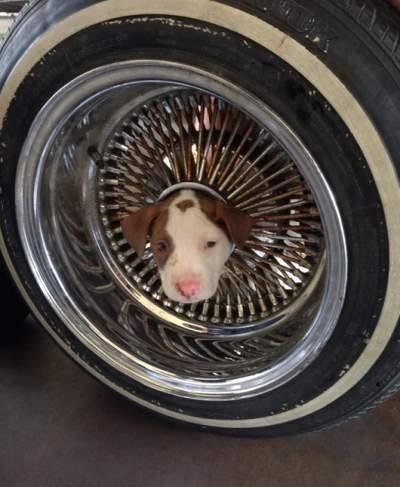 chiot dans roue